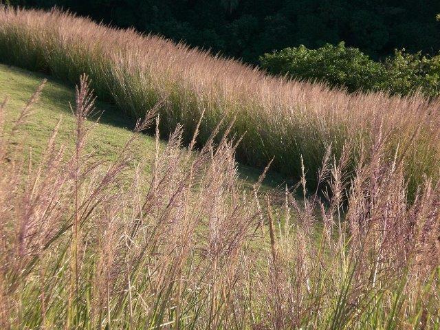 MRU grass